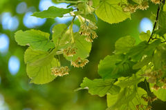 Bee and linden tree flowers Royalty Free Stock Image
