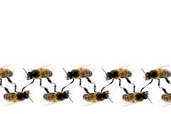 Bee line pattern on white background Royalty Free Stock Photography