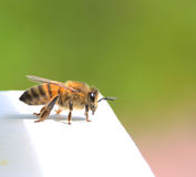 Bee. A little bee on duty Stock Images