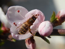 Bee. Little bee searching for the place to sleep in the cherry flower Stock Images