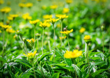 A bee on little yellow flower Royalty Free Stock Photos