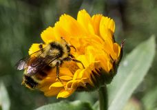 Bee Loading up with Pollen Royalty Free Stock Photos