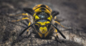 A bee. Looking directly into the camera Stock Photography