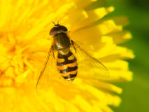 Bee looking fly browsing on a dandelion (Taraxacum officinale)  flower Royalty Free Stock Photo