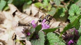 Bee looking for food, flies from bloom to bloom. Macro stock footage