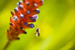 Bee looking for nectar. Macro shot of a busy bee looking for nectar in some flowers Stock Photography