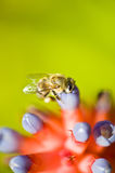 Bee looking for nectar Royalty Free Stock Photos