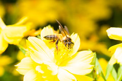 Bee looking for nectar. In pollen in yellow flowers Royalty Free Stock Photography