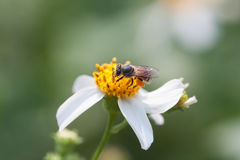 Bee looking for nectar on a daisy flower. Spring single daisy flower and bee Royalty Free Stock Photos