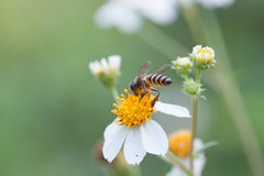 Bee looking for nectar on a daisy flower. Spring single daisy flower and bee Royalty Free Stock Photo