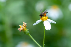 Bee looking for nectar on a daisy flower. Spring single daisy flower and bee Stock Image