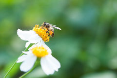 Bee looking for nectar on a daisy flower. Spring single daisy flower and bee Stock Images