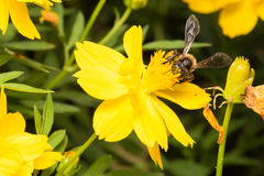 Bee looking for nectar. In pollen in yellow flowers Stock Images
