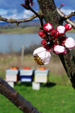 Bee looking for pollen. Bee on apricot flowers to collect pollen Royalty Free Stock Images