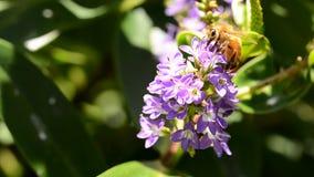 Bee looking for pollen stock footage