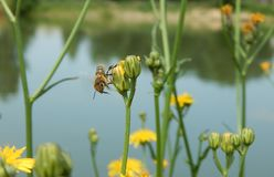 Working bee need flowers. Bee looking for some flowers to pollination Royalty Free Stock Photography