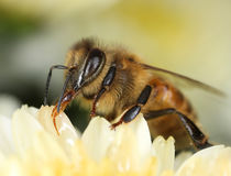 Bee looking for sweet. Busy bee looking for sweet nectar for honey macro close-up stock images