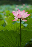Bee and lotus. Bee was attracted by pink lotus Stock Photography