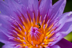 Bee in lotus Stock Photo