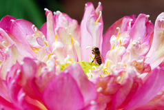 Bee and lotus Royalty Free Stock Photography