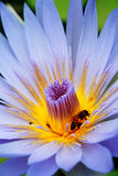 Bee and lotus. Photo of purple blue lotus and bee Stock Photo