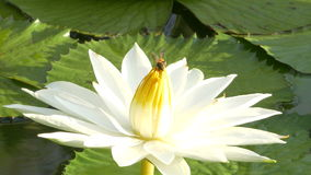 Bee in lotus and Bee group working find pollen on lotus in the day at the morning. Bangkok Thailand :Ultra HD 4K High quality footage size (3840x2160 stock video