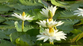Bee in lotus and Bee group working find pollen on lotus in the day at the morning stock video footage