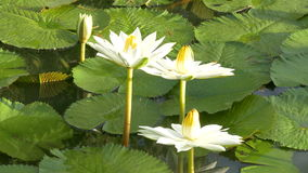 Bee in lotus and Bee group working find pollen on lotus in the day at the morning stock video