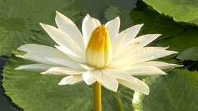 Bee in lotus and Bee group working find pollen on lotus in the day at the morning stock footage