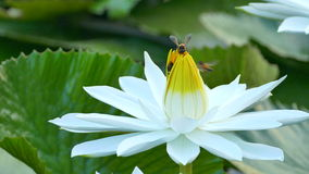 Bee in lotus and Bee group working find pollen on lotus in the day at the morning. Bangkok Thailand :Ultra HD 4K High quality footage size (3840x2160 stock video footage