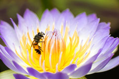 Bee with lotus. Bee on the blue water lily Stock Photography