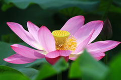 Bee and lotus royalty free stock photos