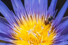 Bee and lotus flower. Stock Photos