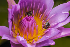 Bee and lotus flower. Stock Image