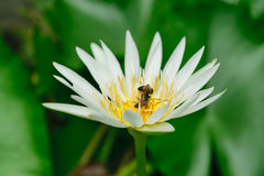 Bee and Lotus Flower Stock Photography