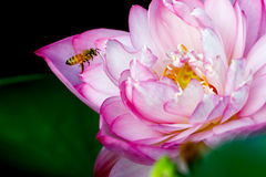 Bee and lotus Royalty Free Stock Images