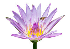 Bee with lotus flower Stock Images