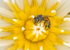 Bee on lotus flower in macro shot Stock Photo