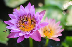 Bee and Lotus. Flower in pond Stock Images