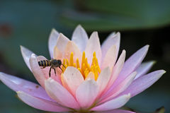 A Bee in a Lotus Stock Images