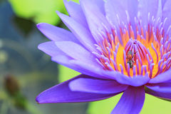 Bee on a lotus. Stock Photography