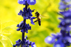 Bee in love with flowers Stock Photo