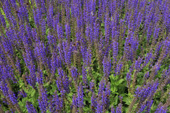 Bee-loving plant. Bed of catmint or Nepeta covered in bees Stock Images