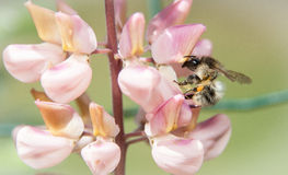 Bee on lupin Stock Photography