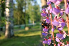 Bee in a lupine flower on a summer day royalty free stock photography