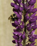 Bee on Lupine Stock Photos