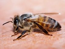 Bee macro Stock Photos