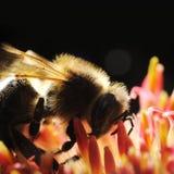 Bee macro Royalty Free Stock Image