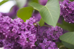Bee macro. Beautiful lilac with bee close up Royalty Free Stock Images