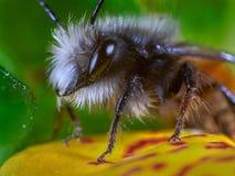 Bee macro. Macro of bee perched on flower Royalty Free Stock Image